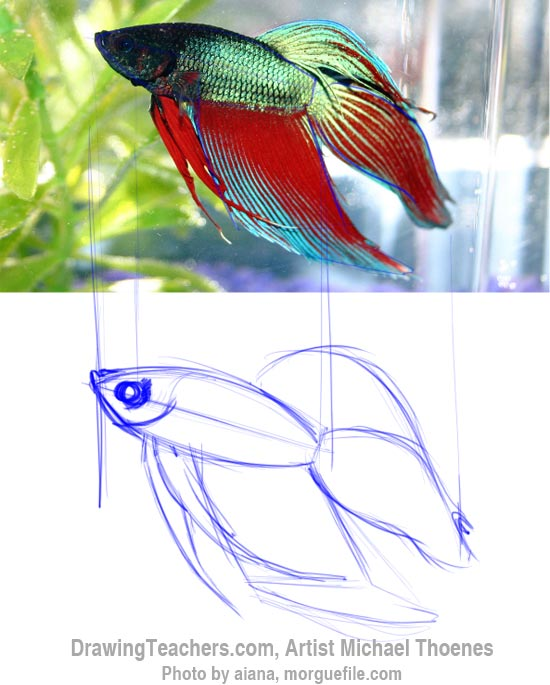 How to Draw a Siamese Fighting Fish Step 3