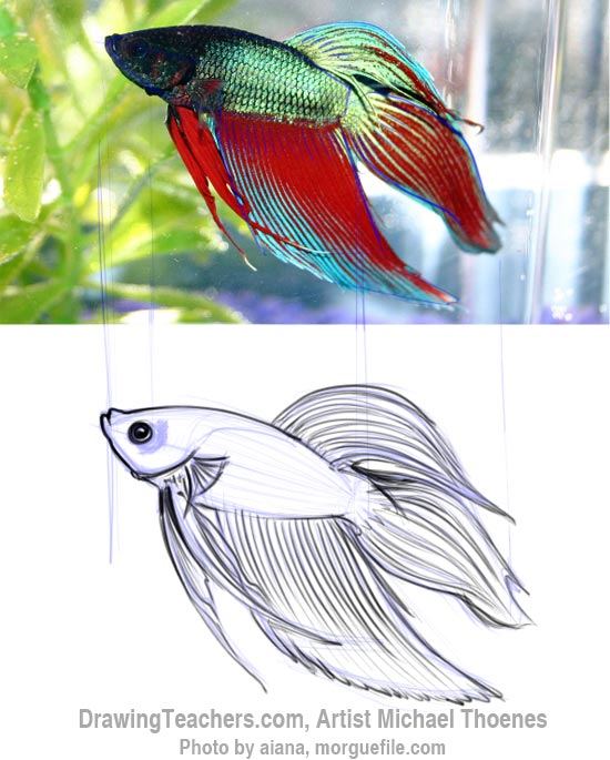 How to Draw a Siamese Fighting Fish Step 5