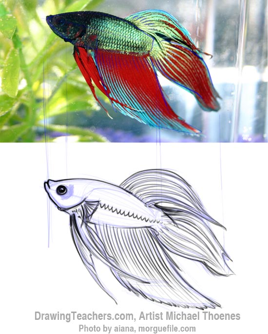 How to Draw a Siamese Fighting Fish Step 6