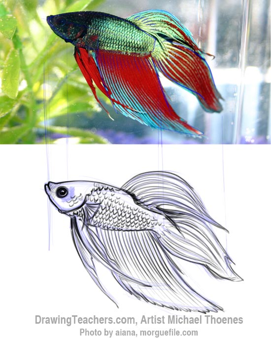How to Draw a Siamese Fighting Fish Betta Fish Drawings