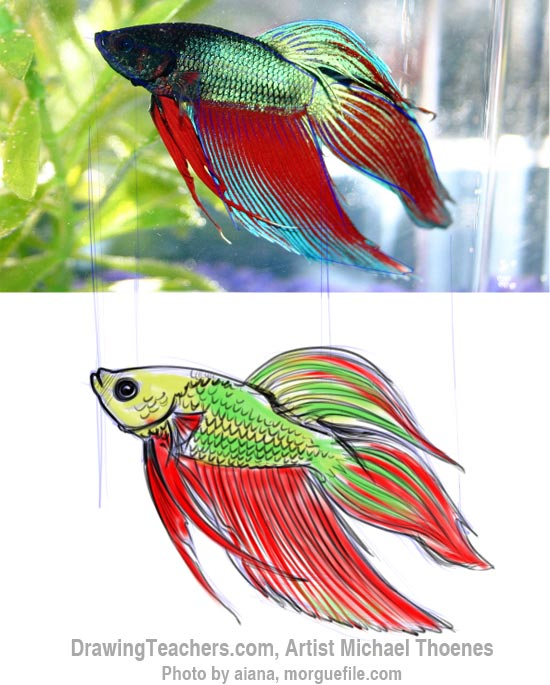 How to Draw a Siamese Fighting Fish Step 11