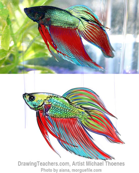 How to Draw a Siamese Fighting Fish Step 12