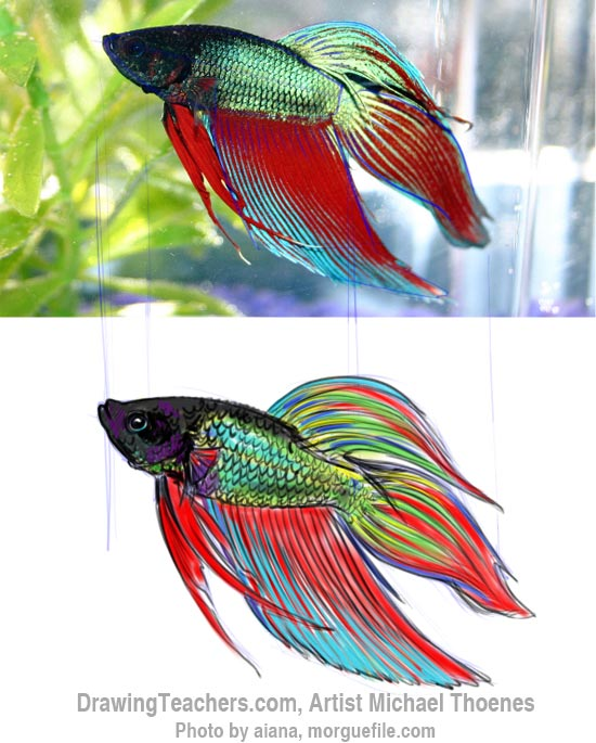 How to Draw a Siamese Fighting Fish Step 13