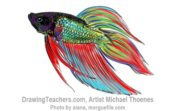 How To Draw A Siamese Fighting Fish Step 14