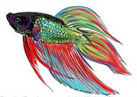 How to Draw a Siamese Fighting Fish Step 16
