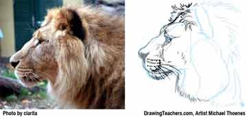Lion Drawing Step 8 - How to Draw a Lion