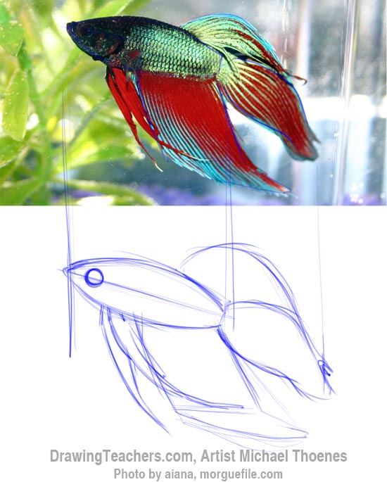 How to Draw a Siamese Fighting Fish Step 2