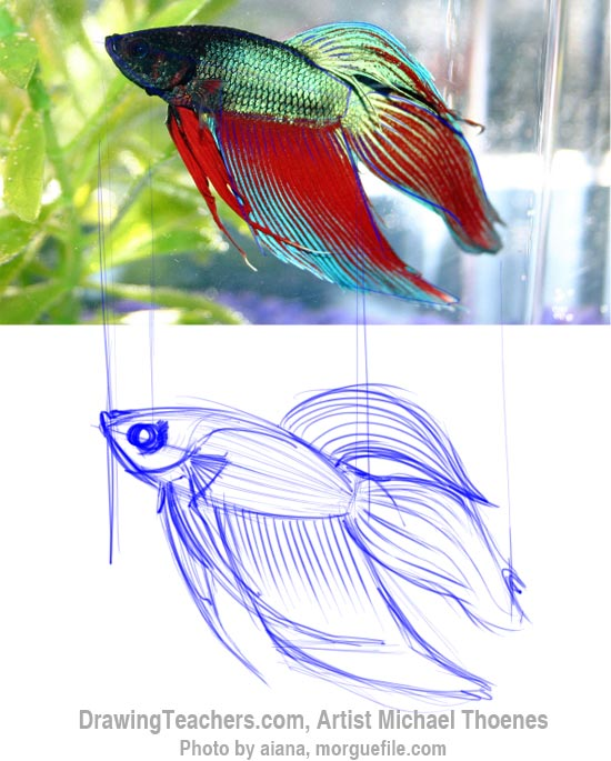 How to Draw a Siamese Fighting Fish Step 4