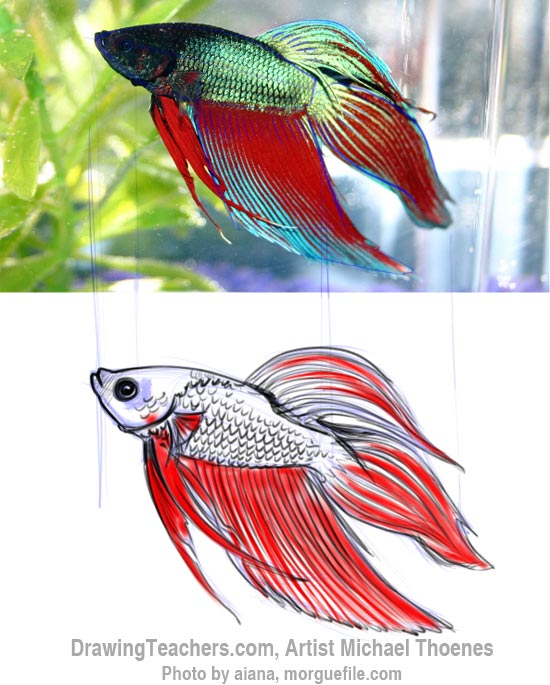 How to Draw a Siamese Fighting Fish Step 8
