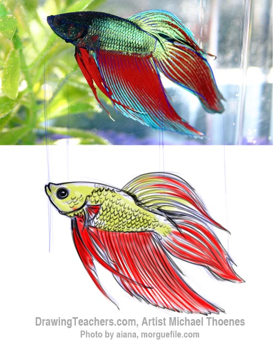How to Draw a Siamese Fighting Fish Step 9